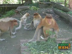 The family of proboscis monkeys. Dad is the big one, moms are small and brown and one of the kids is the pale small one