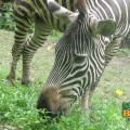 Who doesn't like a zebra? Everybody loves a Zebra!