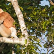 Proboscis Monkeys & Fireflies River Cruise, Kota Kinabalu, Sabah
