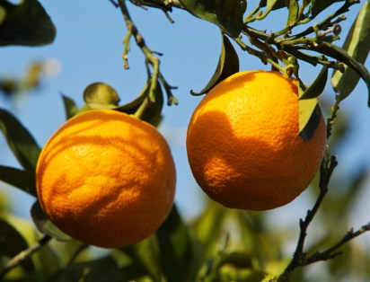Naranjas con más antioxidantes/ CSIC