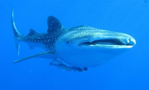 640px-Whaleshark, Daedalus Reef, Red Sea, Egypt - take 2 (6142991715)