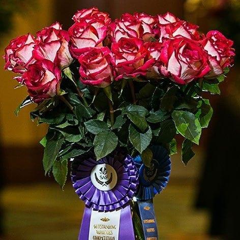 Best in Class: Rose 'Cinderella' International Rose Breeders LLC