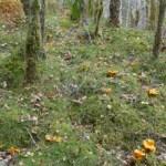 Golden chanterelles forest