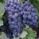 Sangiovese Harvest Saturday
