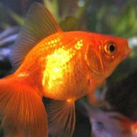 pet fish types - Best Tropical Fish for a Community Tank