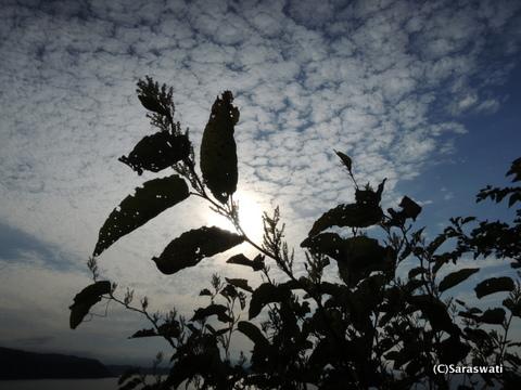 オオイタドリと小樽塩谷の空