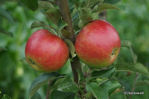 8月24日 果樹園の林檎たち