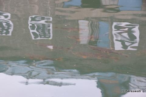 小樽運河に迷い鮭
