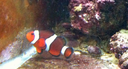 clownfish breeding in a saltwater aquarium