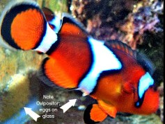Clownfish Breeding Log