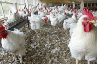 L'odeur du poulet contre le paludisme