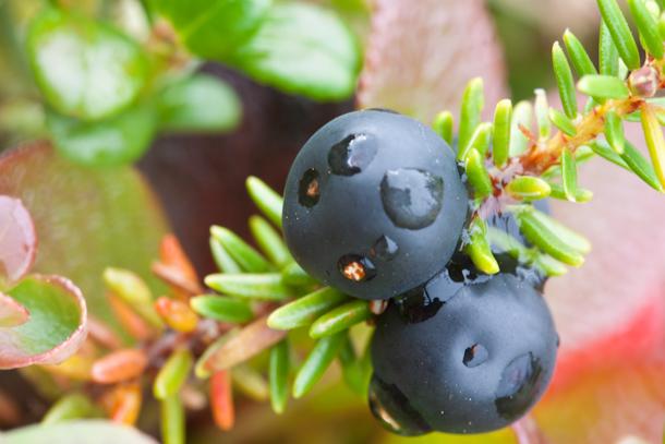 Macro berries in Denali National Park (Crowberries)