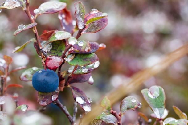 Macro berries in Denali National Park (blackberry)