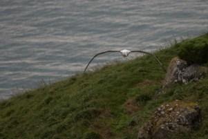 _MG_7981Dunedin, Royal Albatross18