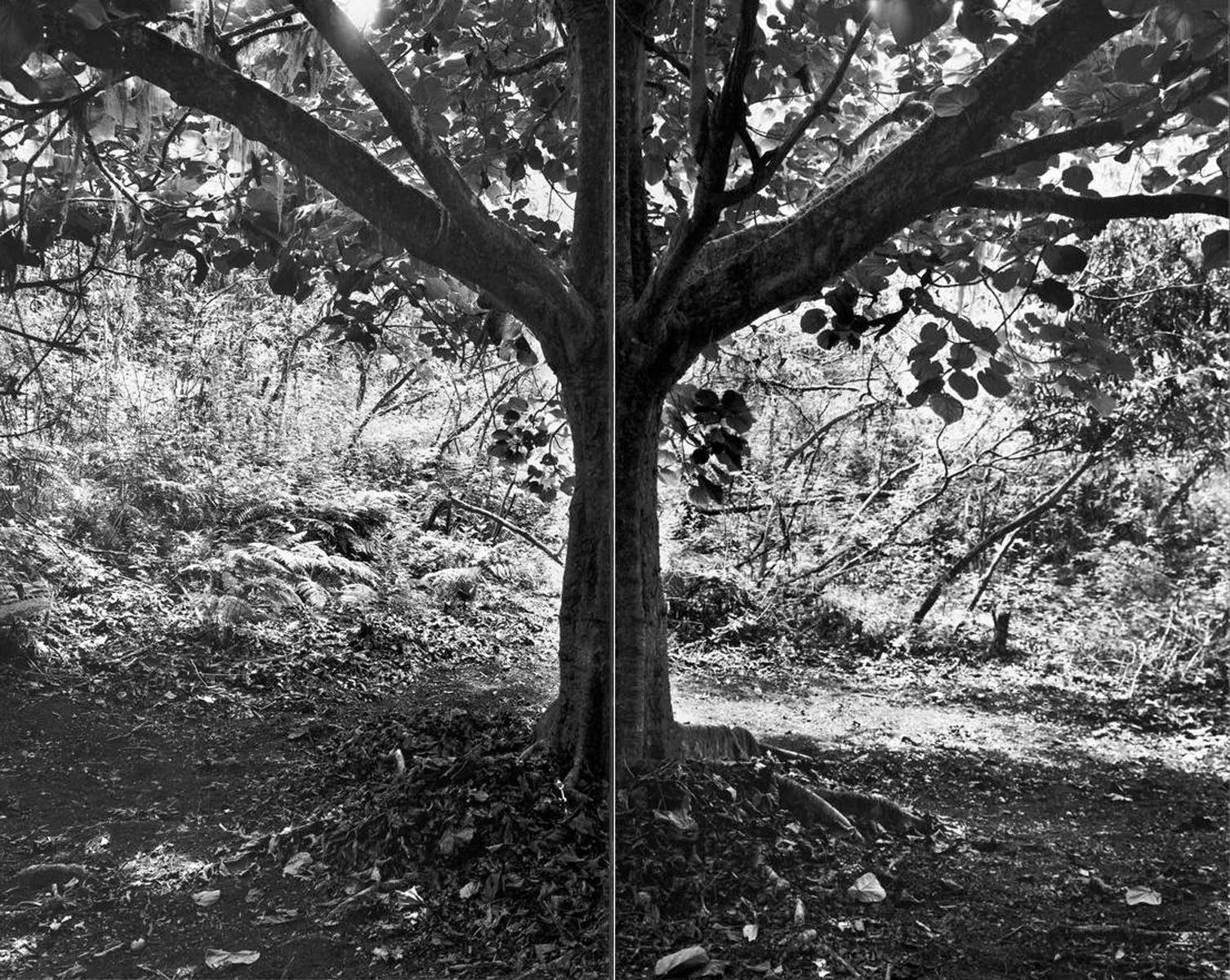 Tree - 2005 - 50 x 60 - Silver Print