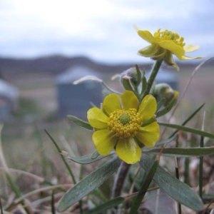prairie-buttercup