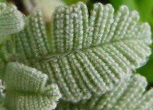 GrannyJs knitted leaf. ID, anyone?