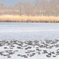 釧路(シラルトロ湖)のガン類