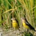 香港の鳥類 ロングバリー