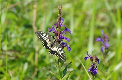 サワギキョウの花にアゲハチョウがとまっています