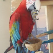 Adorable greenwing macaw parrots