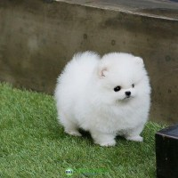 Both Male and female Teacup Pomeranian puppies for sale