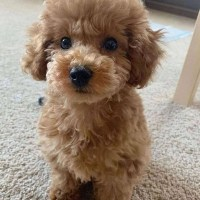 Poodle puppies for adoption