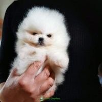 Pomeranian puppy for adoption