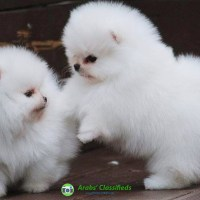 Healthy Teacup Pomeranian puppies ready for new homes