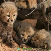 Male and Female Tigers, Cheetah Cubs For Sale