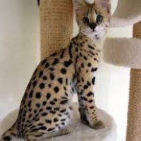 Beautiful Serval Kittens for sale