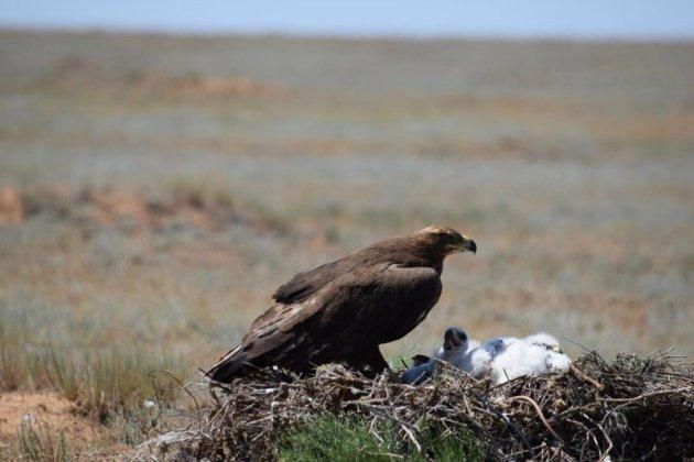 Степной орел на гнезде, Республика Калмыкия. Фото Р. Меджидова