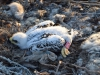 Птенец степного орла. Фото Р. Меджидова