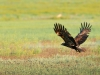Steppe eagle, Cherniye Zemly (Black Earth) Nature Reserve, Kalmykia, Russia, May 2009. Photo by Igor Shpilenok