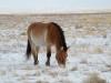 Лошадь Пржевальского. Фото Т. Жарких