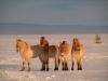 Лошади Пржевальского, Оренбургский заповедник. Фото Т. Жарких
