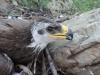 Птенец степного орла в гнезде, 29.07.2015, Забайкальский край. Фото А. Барашковой