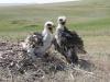 Птенцы степного орла в гнезде, Актюбинская область. Фото И. Карякина