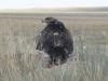 Самка степного орла на гнезде, Актюбинская область. Фото И. Карякина