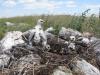 Выводок степного орла из 4-х птенцов впервые в Оренбуржье выявлен в 2015 г. Фото И. Карякина