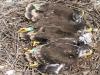 Птенцы степного орла, окольцованные цветными кольцами летом 2012 года в Оренбургской области. Фото И. Карякина