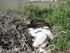 Птенцы степного орла. Горы Акшатау, Актюбинская область, Казахстан. Фото А.Н. Барашковой