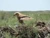 Степной орел в гнезде, устроенном на тамариске. Июнь 2010. Республика Калмыкия. фото А. Бурлуткина