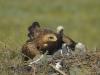 Самка степного орла на гнезде с птенцами, Актюбинская область, 2015. Фото И. Карякина