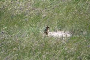 Байбаки приспособились к обитанию в высокотравной степи. Обоянский район, Курская область. Фото А. Власова
