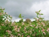 Цветение жимолости татарской, Центрально-Черноземный заповедник. Фото Г. и О. Рыжковых
