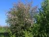 Яблоня домашняя, Центрально-Черноземный заповедник. Фото О.В. Рыжкова