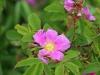 Цветет шиповник майский, Центрально-Черноземный заповедник. Фото О.В. Рыжкова