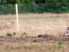 Сурки у норы. Центрально-Черноземный заповедник. Фото О.В. Брандлера