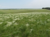 Ковыльная степь в урочище Бекетовские холмы. Фото А.В. Полуянова